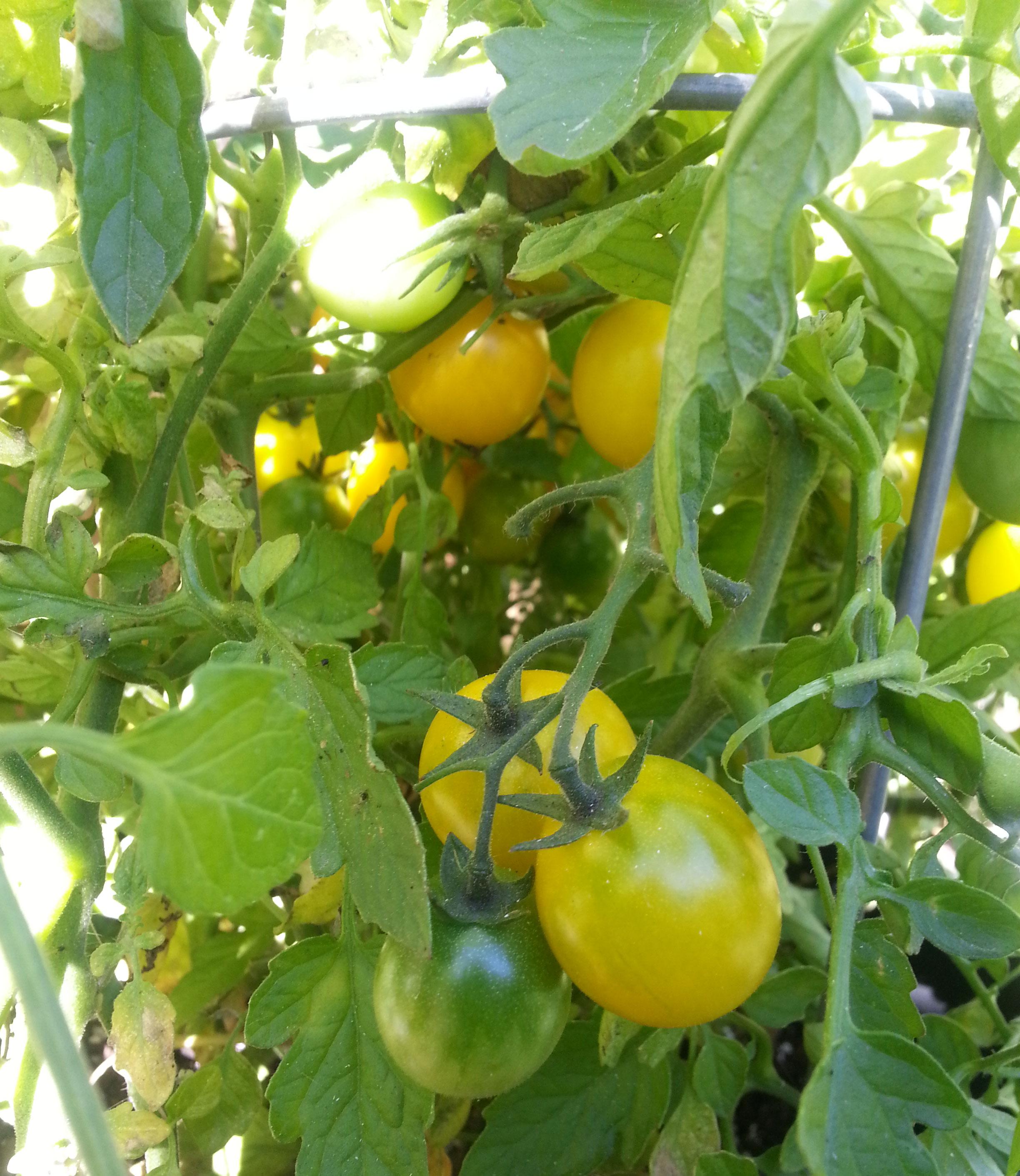 Tomatoes from Wanda's Garden