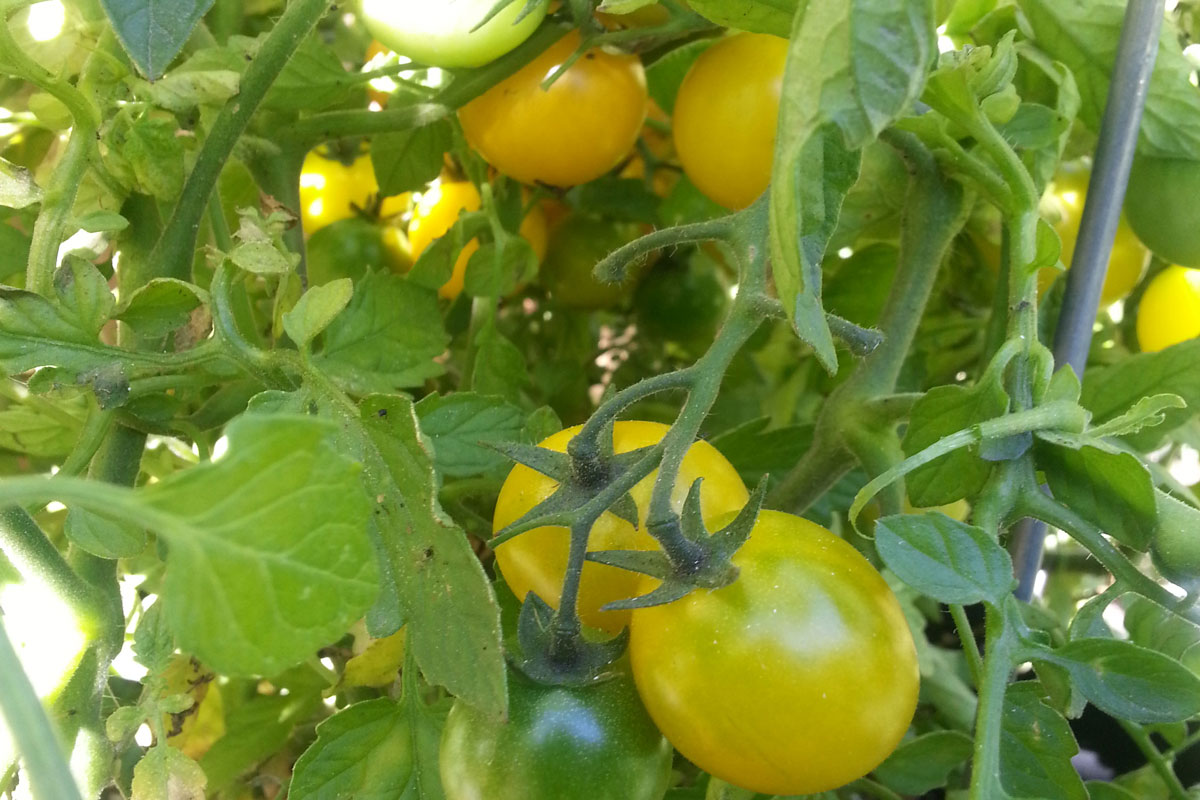 Garden grown tomatoes